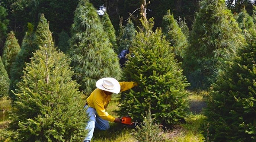 Carece la entidad de plantaciones de árboles de navidad | El Imparcial de Oaxaca