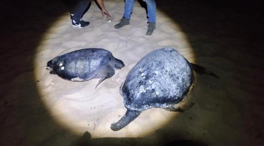 Salvan a dos tortugas en playas de Huatulco   El Imparcial de Oaxaca
