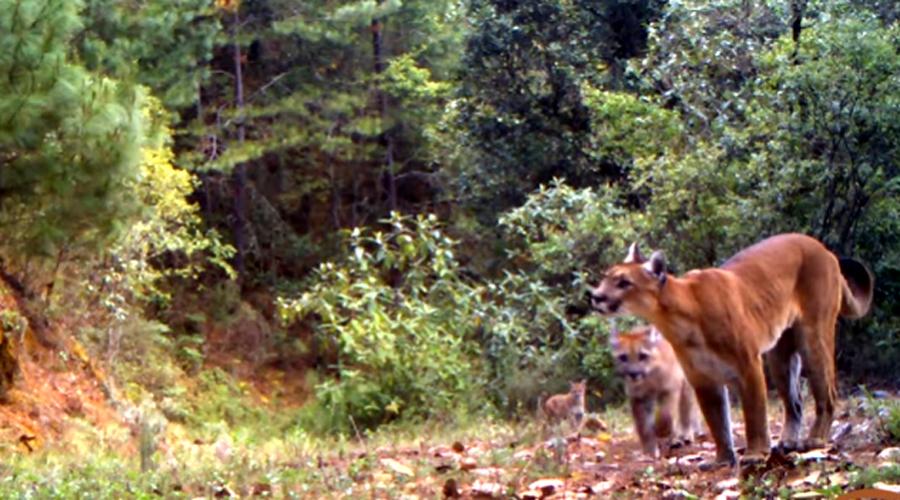 Incendios y cacería acaban con los felinos | El Imparcial de Oaxaca