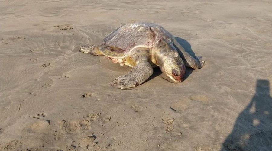 Mueren 11 tortugas rescatadas en la Costa | El Imparcial de Oaxaca