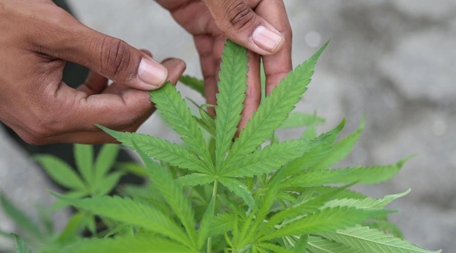 Espera UNAM y Amexicann curar epilepsias y cáncer con cannabis | El Imparcial de Oaxaca