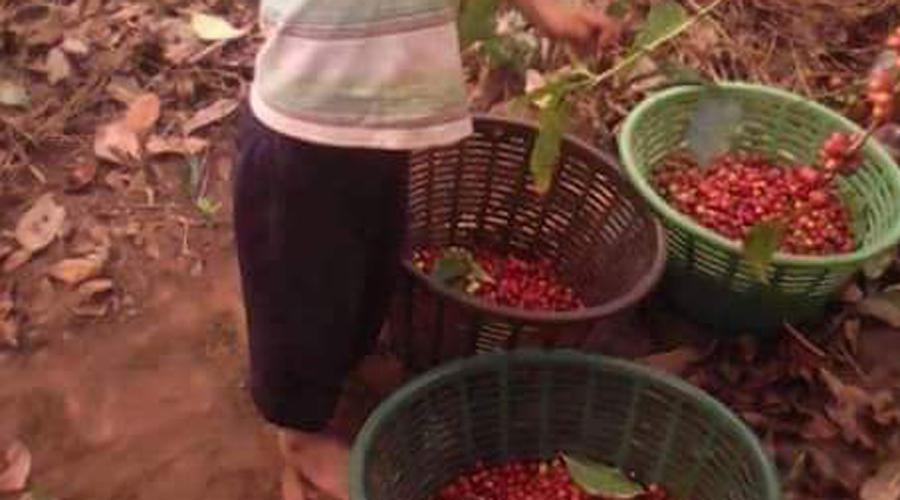 Optimismo, en la cafeticultura mazateca | El Imparcial de Oaxaca