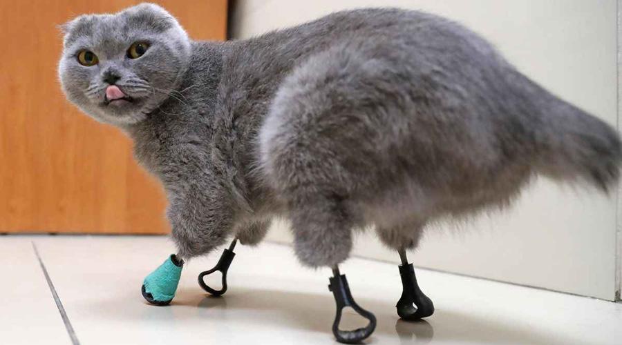 Gatitos rescatados en Siberia son rehabilitados con patas de metal | El Imparcial de Oaxaca