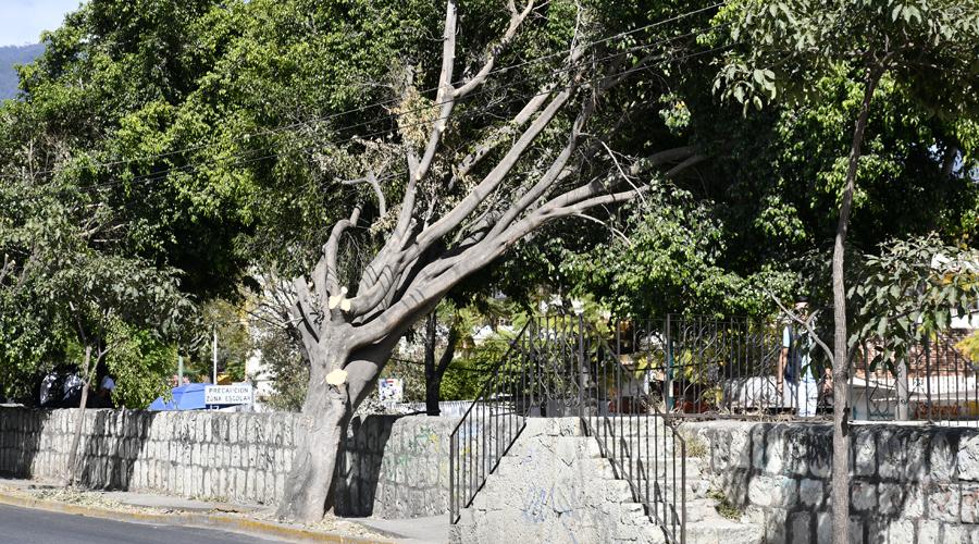 Piden sancionar a la CFE por daño en el arbolado urbano de Oaxaca | El Imparcial de Oaxaca