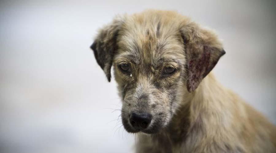Advierten proliferación de perros callejeros en Oaxaca | El Imparcial de Oaxaca