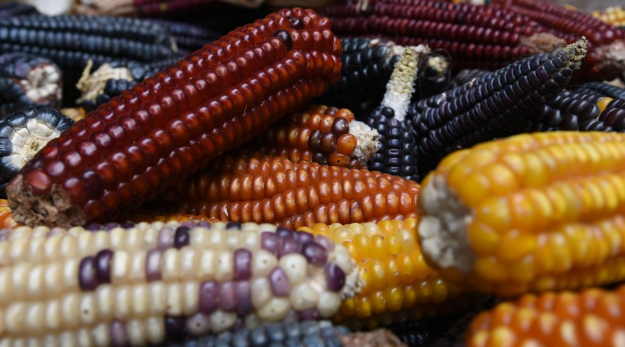 Libre comercio niega la biodiversidad del maíz