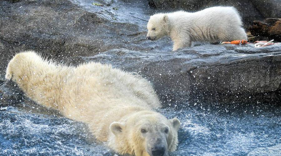 Nace Oso polar en Viena, el primero en 12 años | El Imparcial de Oaxaca