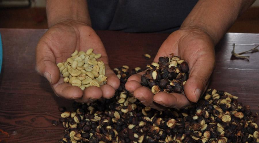 Oaxaca busca recuperar la producción de café pluma | El Imparcial de Oaxaca