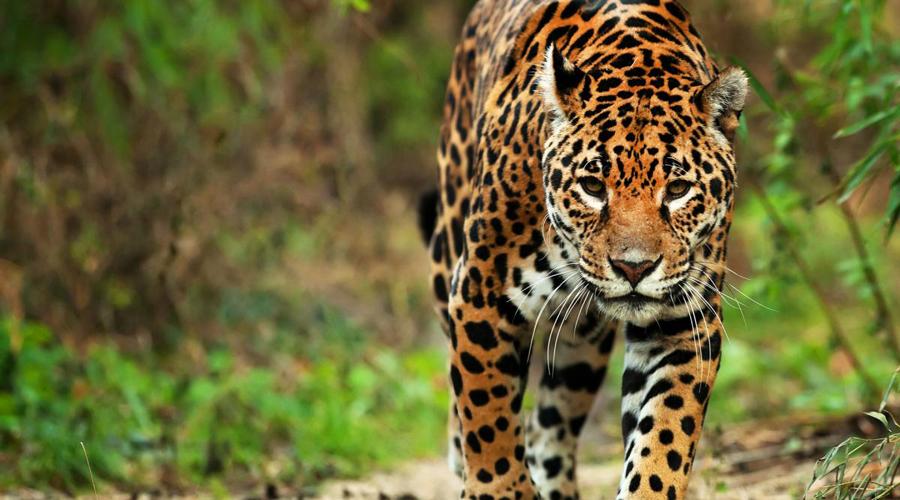 Considerar al jaguar especie en peligro, piden especialistas para su conservación   El Imparcial de Oaxaca