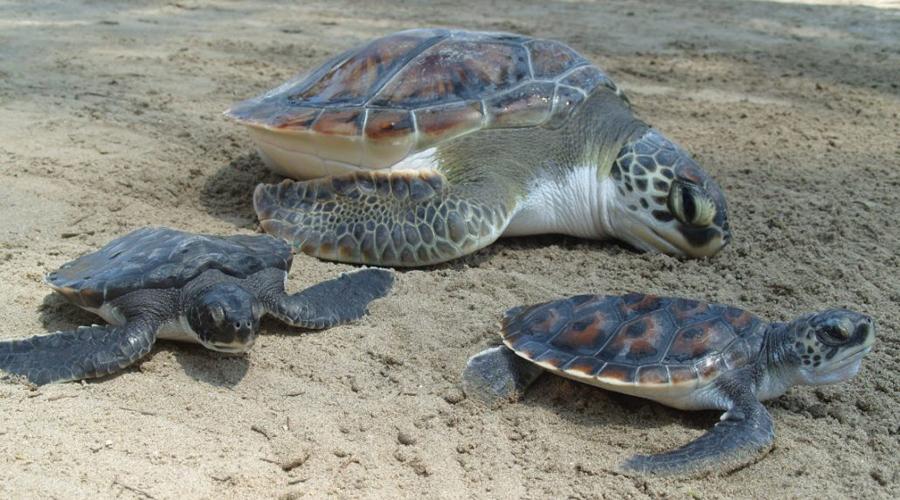Liberan a tortugas afectadas por marea roja   El Imparcial de Oaxaca