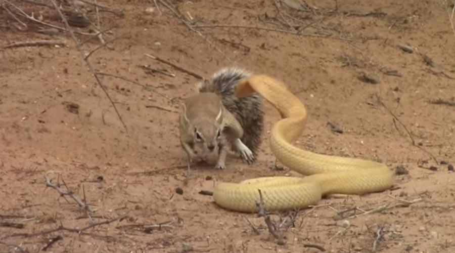 Video: Ardilla se enfrenta a una cobra para proteger a sus crías | El Imparcial de Oaxaca