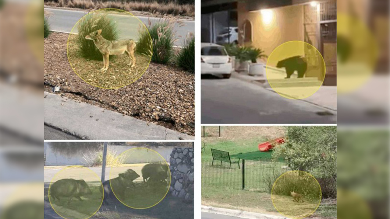 Video: Osos, jabalíes y coyotes recorren las calles de Monterrey debido a cuarentena | El Imparcial de Oaxaca