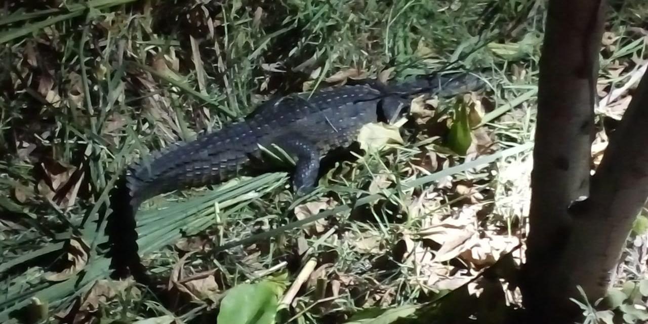 Capturan un cocodrilo en Santa María Colotepec   El Imparcial de Oaxaca