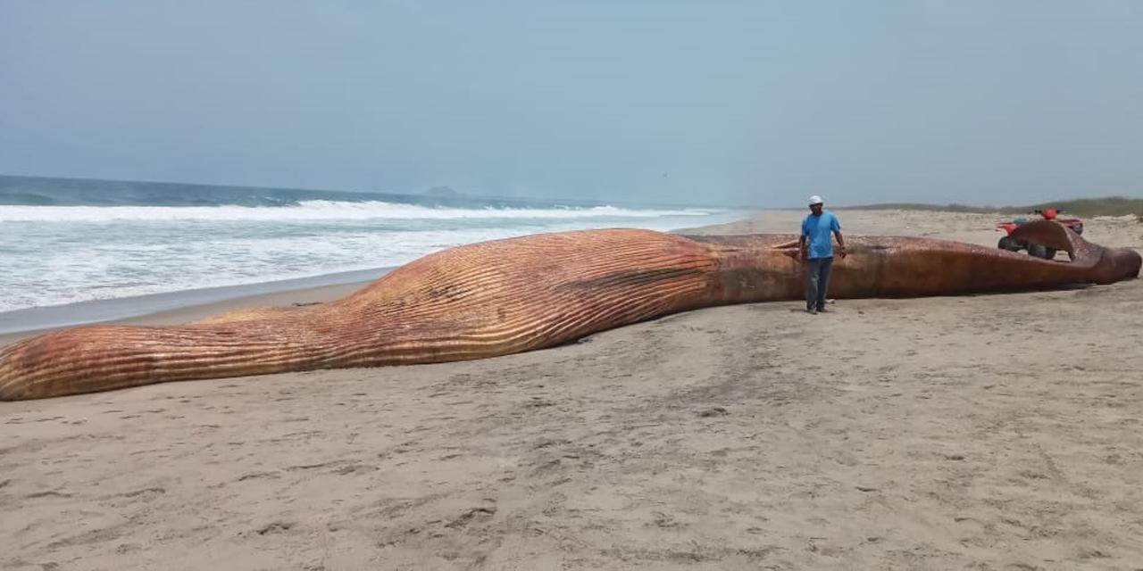 Ballena Azul varada en playas de Chacahua | El Imparcial de Oaxaca