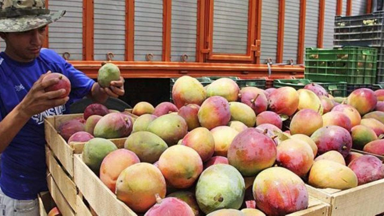 Pega Covid-19 a  producción de mango en Oaxaca | El Imparcial de Oaxaca