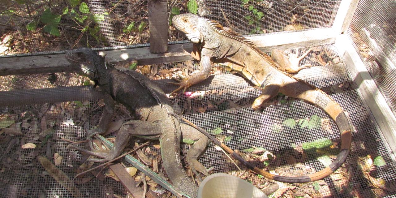 Liberarán iguanas en Juchitán por Día Mundial del Medio Ambiente | El Imparcial de Oaxaca