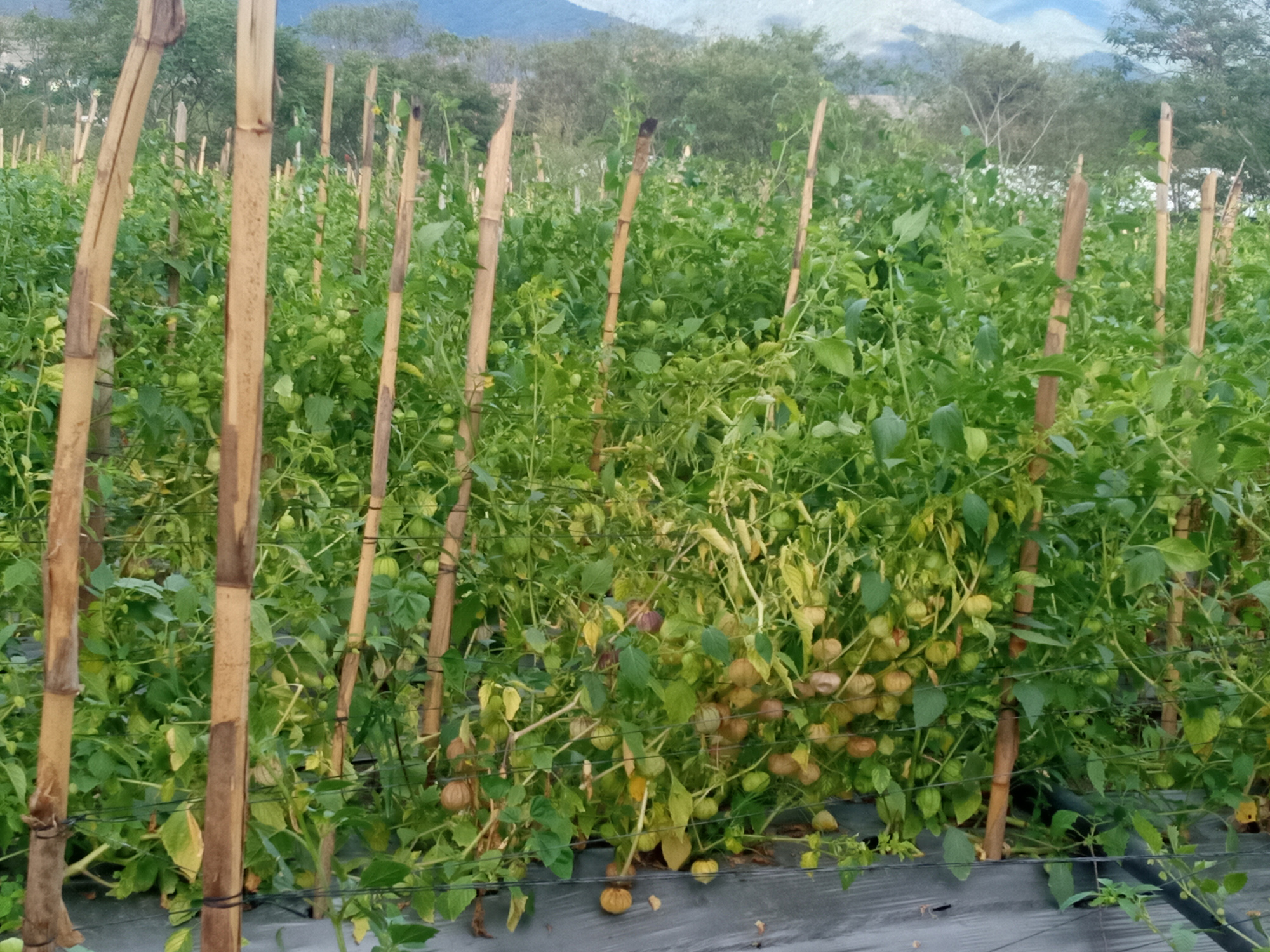 Desisten tomateros a sus cosechas por falta de apoyo | El Imparcial de Oaxaca