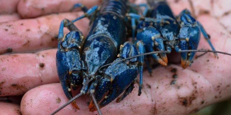 Encuentran ejemplares del casi extinto cangrejo azul | El Imparcial de Oaxaca