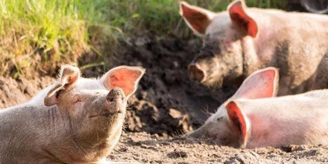 Alertan sobre nuevo virus de gripe porcina con potencial de pandemia | El Imparcial de Oaxaca