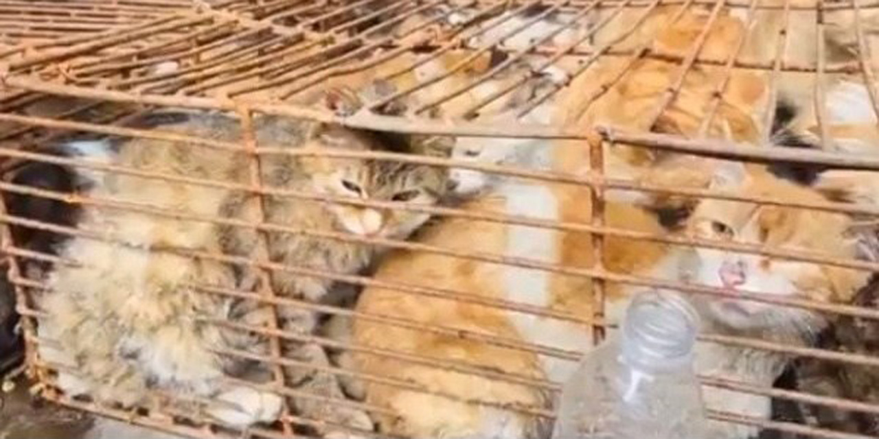 Rescatan a 700 gatos en China; serían destinados para consumo humano   El Imparcial de Oaxaca