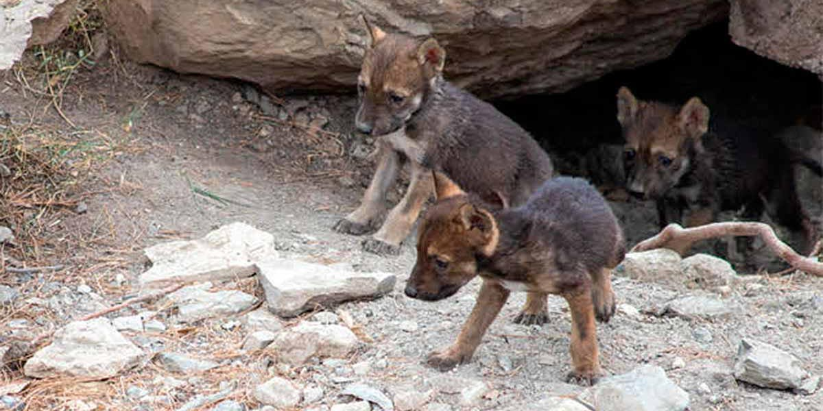 Nacen 8 crías de lobo mexicano en Coahuila | El Imparcial de Oaxaca