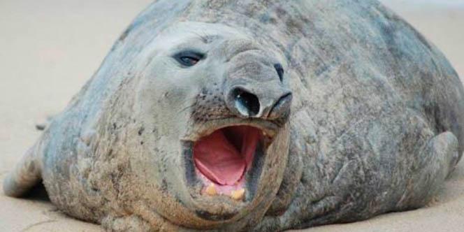 'Panchito', el elefante marino que llegó a Nayarit esta desaparecido   El Imparcial de Oaxaca