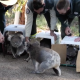 Video: Koalas evacuados durante incendios de Australia regresan al bosque