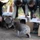 Video: Koalas evacuados durante incendios de Australia regresan al bosque