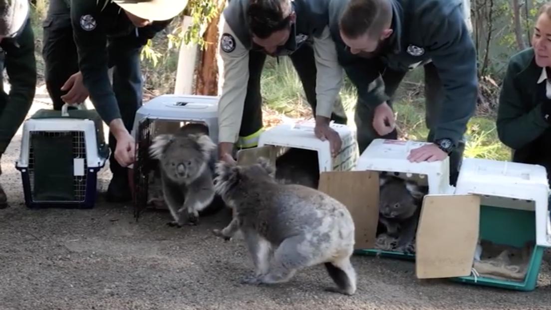 Video: Koalas evacuados durante incendios de Australia regresan al bosque | El Imparcial de Oaxaca