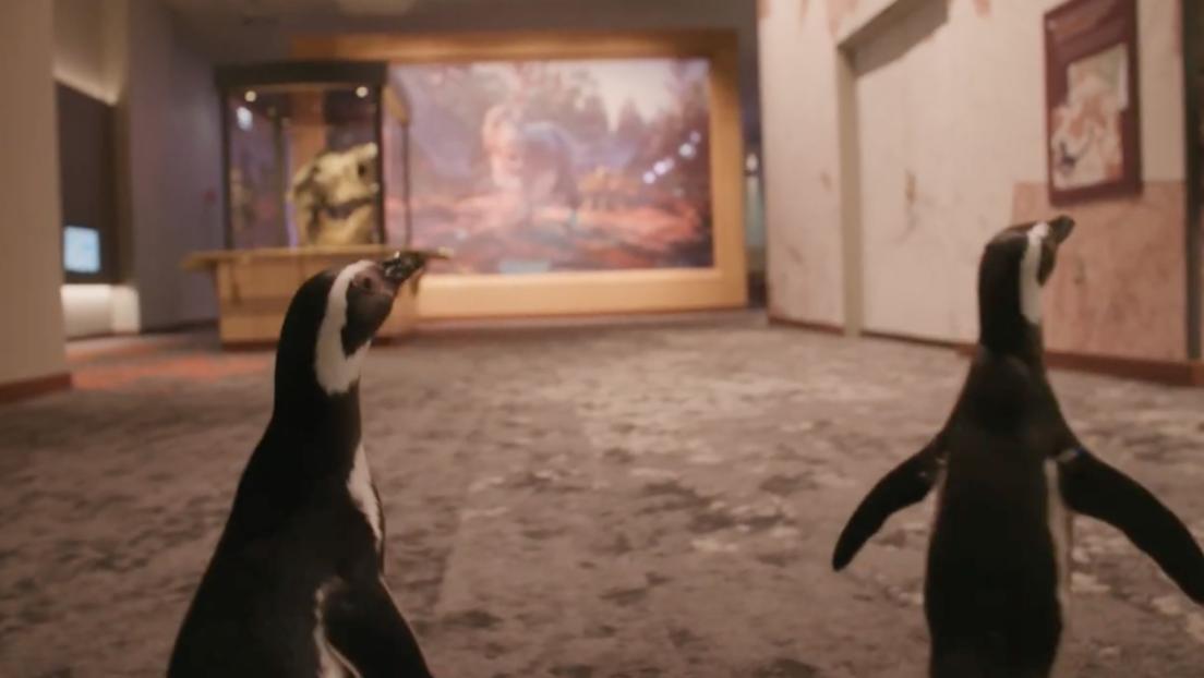 Video: Pingüinos visitan museo cerrado por pandemia | El Imparcial de Oaxaca