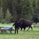 Video: Bisonte ataca a una mujer luego de que ella se le acercara para tomarse una selfie