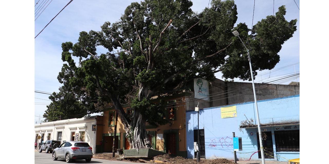 Prevén retiro de árbol en Calzada Madero   El Imparcial de Oaxaca