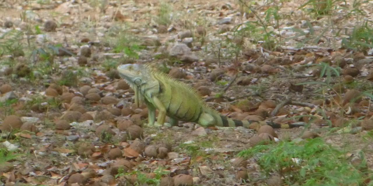Pobladores de Cuicatlán buscan preservar iguanas y su hábitat | El Imparcial de Oaxaca