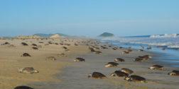 Tortugas golfinas arriban a la costa oaxaqueña