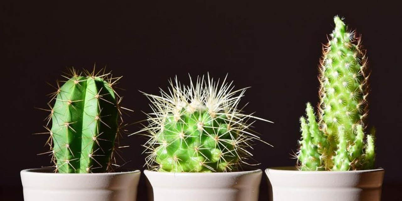 Trucos para cuidar un cactus sin morir en el intento   El Imparcial de Oaxaca