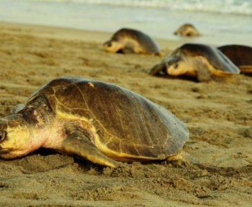 Despliegan operativos para proteger tortugas en la costa de Oaxaca
