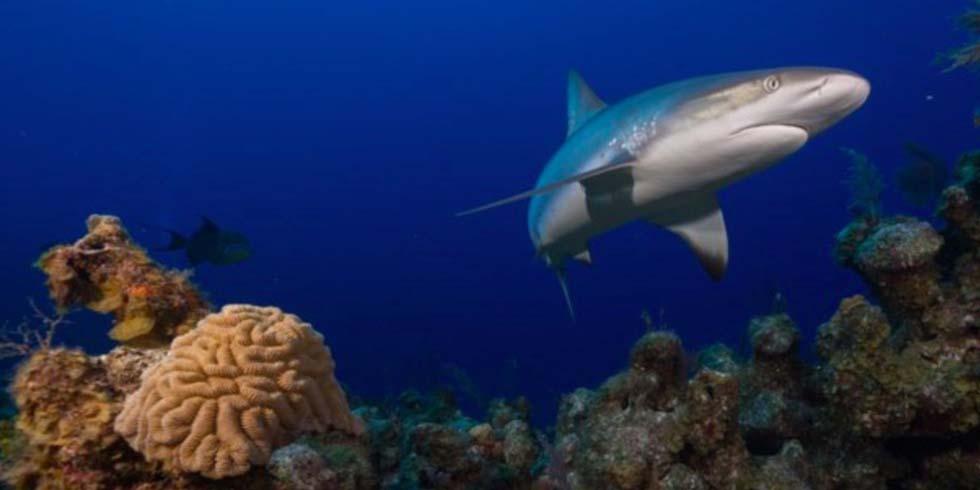 Tiburones están funcionalmente extintos en un 20 por ciento de arrecifes de coral | El Imparcial de Oaxaca