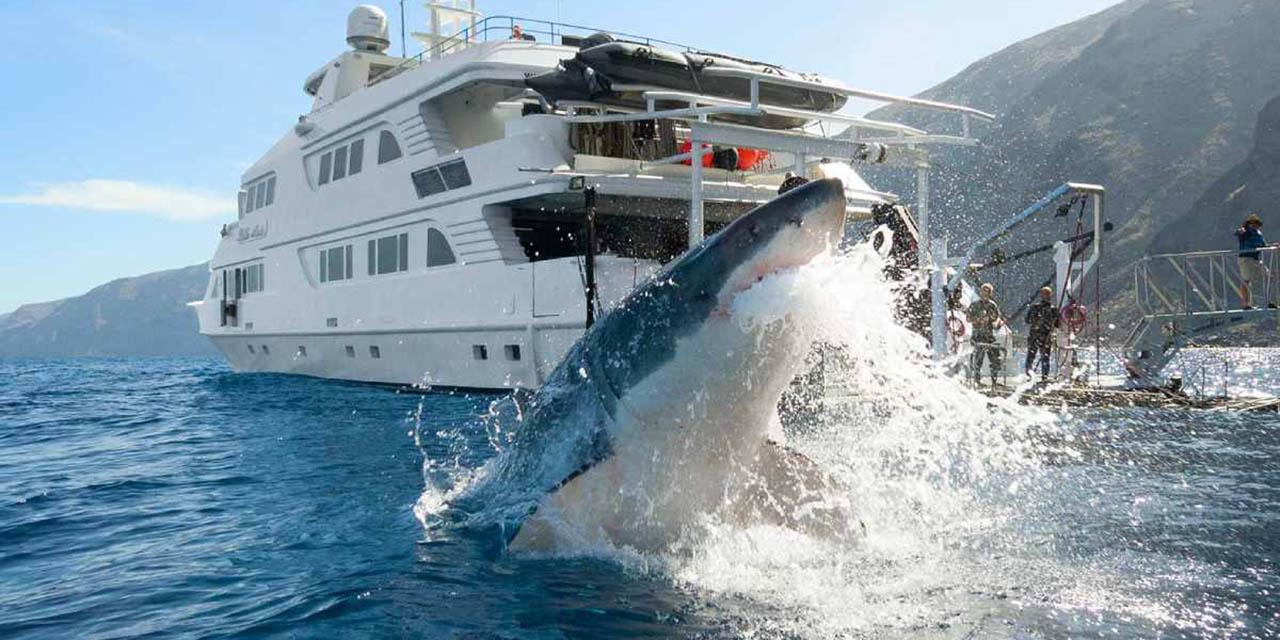 Tiburón blanco de BC en grave peligro por piratas chinos | El Imparcial de Oaxaca