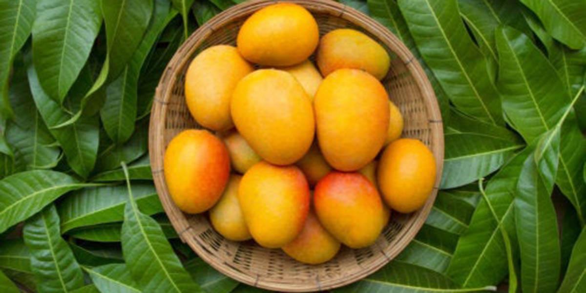 6 beneficios de las hojas de mango que posiblemente no conocías   El Imparcial de Oaxaca