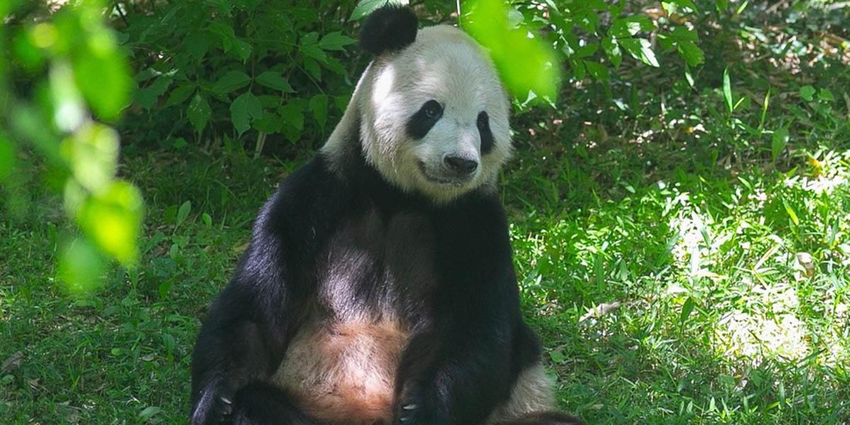 Panda gigante, Mei Xiang, se convierte en madre por sexta ocasión a sus 22 años   El Imparcial de Oaxaca