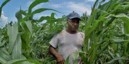 Buscan rescatar el maíz Zapalote Chico