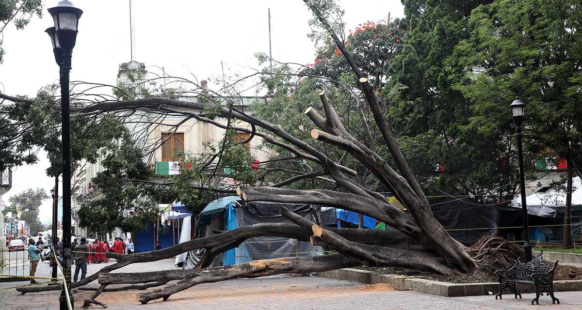Podan árboles del zócalo tras caída de dos ejemplares | El Imparcial de Oaxaca