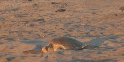 500 mil tortugas arribarán a playas de Oaxaca
