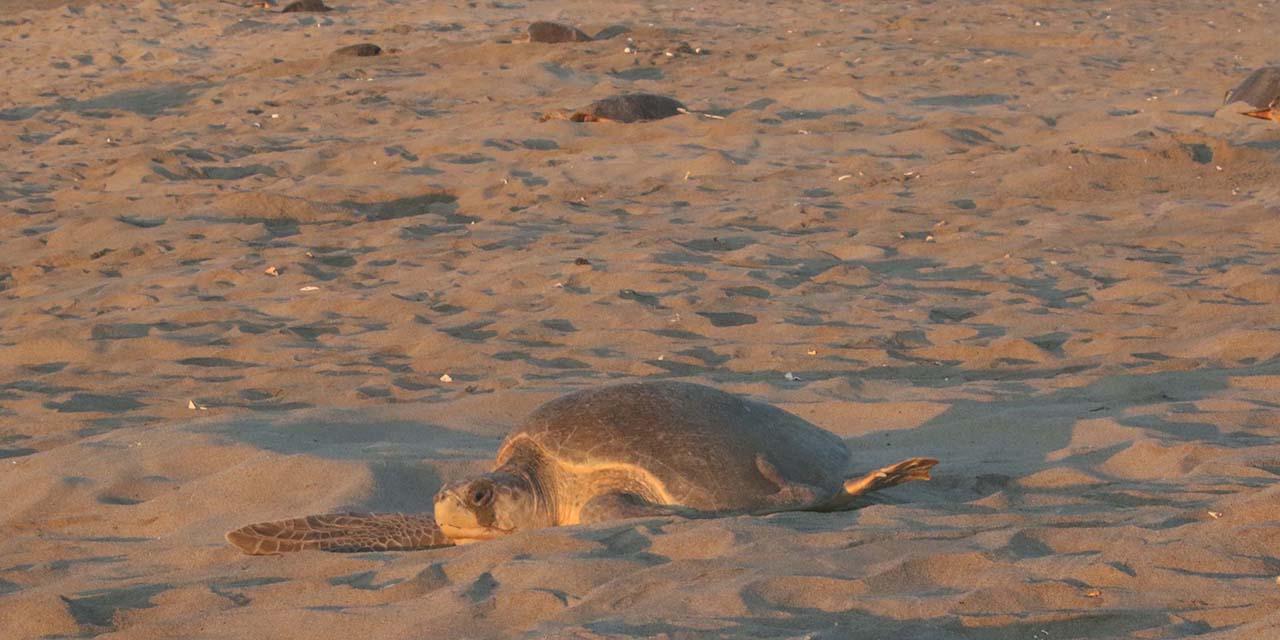 500 mil tortugas arribarán a playas de Oaxaca | El Imparcial de Oaxaca