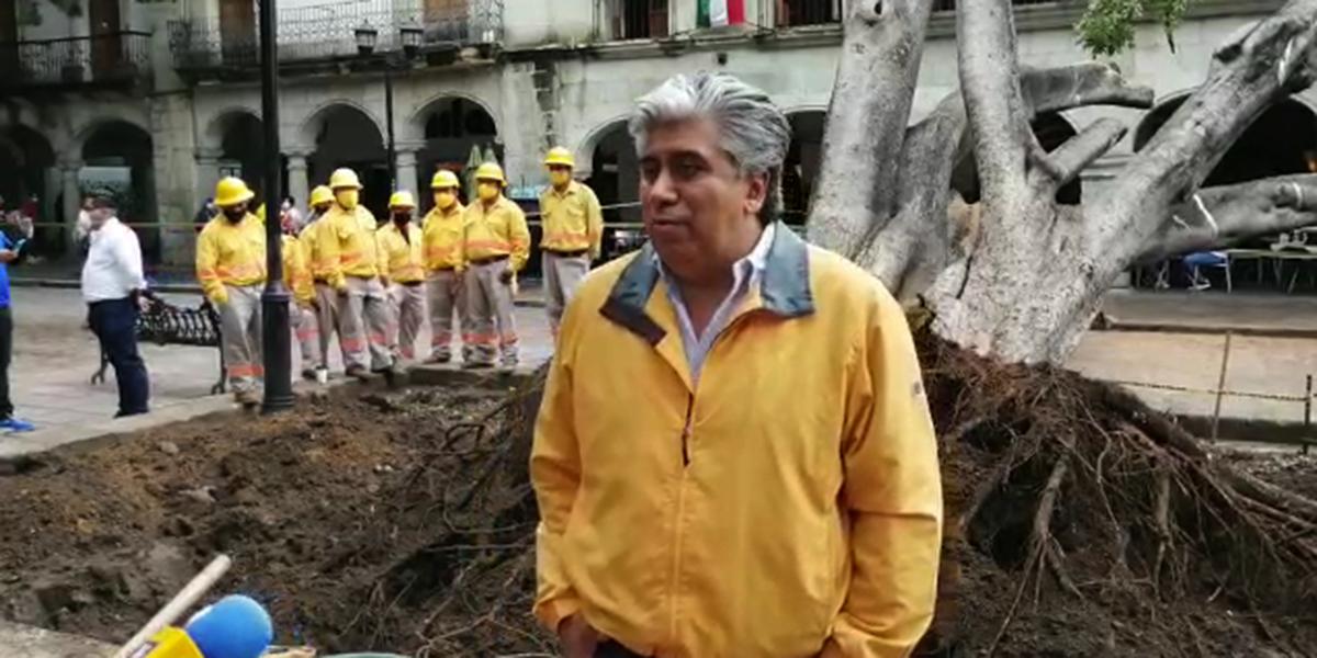 Piden poda equilibrada en árboles del Zócalo de la capital | El Imparcial de Oaxaca
