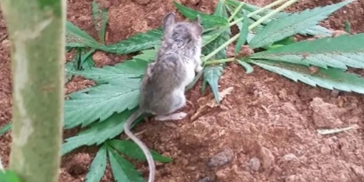 Ratón es sorprendido comiendo hojas de mariguana | El Imparcial de Oaxaca