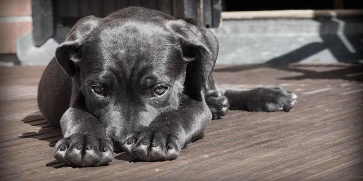 ¿Por qué los perros se asustan con la explosión de cohetes?   El Imparcial de Oaxaca