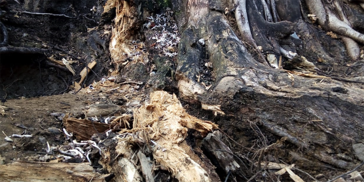 Ambientalistas advierten riesgo de caída de laurel emblemático de Oaxaca   El Imparcial de Oaxaca