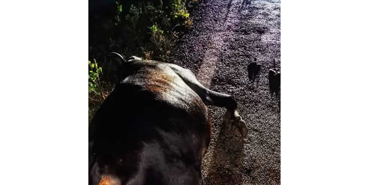 Motociclista choca contra vaca en la carretera costera | El Imparcial de Oaxaca