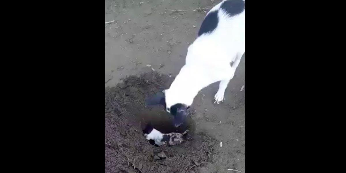 Video: Perrita cava tumba para enterrar a su cachorro muerto | El Imparcial de Oaxaca